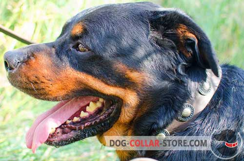 Extraordinary Rottweiler Collar Leather With Riveted Plates