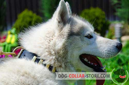 Leather Siberian Husky / Akita Collar with brass plates