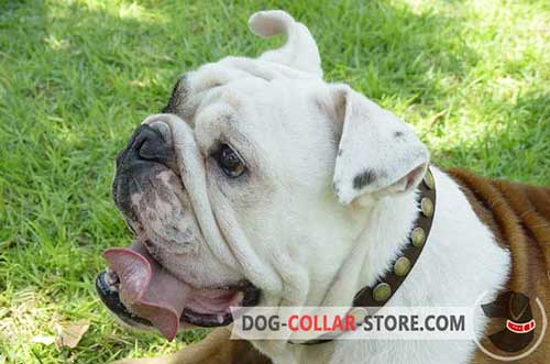 Handcrafted Leather Dog Collar for English Bulldog Walking with Circles