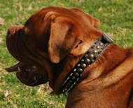 Leather Dogue de Bordeaux Collar Decorated with Spikes and Studs