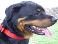 Nylon Dog Collar- 2 Ply Nylon :Nickel Plated- Rottweiler collar